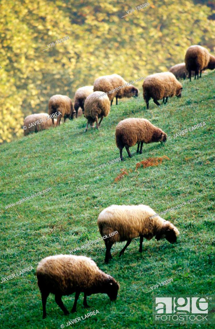 Stock Photo: Sheep, Azkoitia. Guipuzcoa, Euskadi, Spain.