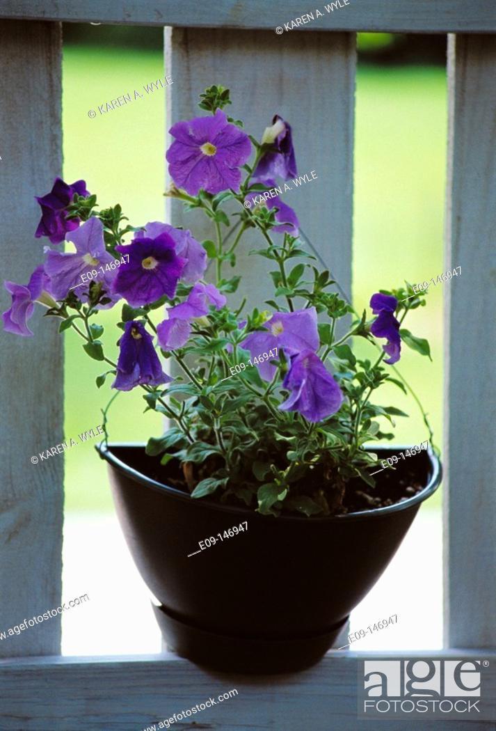 Stock Photo: Purple flowers, in black flowerpot of unusual shape, on sunlit sill.
