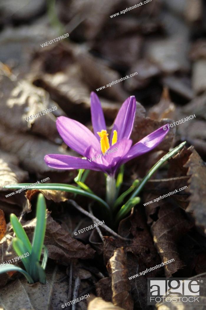 Imagen: fruehlingserwachen, arno, bahrendorf, bloom, crocus, flower, germany.