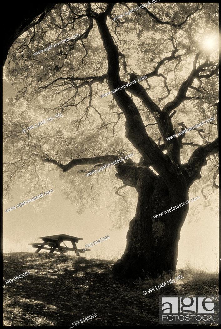 Stock Photo: Coast Live Oak (Quercus agrifolia), picnic table, and sun, Sobrante Ridge Regional Preserve, Contra Costa County, CA, USA, shot on Kodak infrared film.