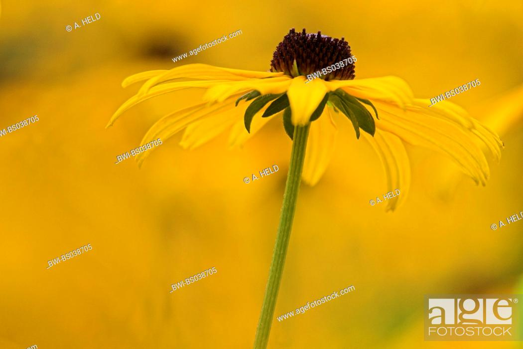 Stock Photo: golden coneflower (Rudbeckia fulgida 'Goldsturm', Rudbeckia fulgida Goldsturm), inflorescence (capitulum).