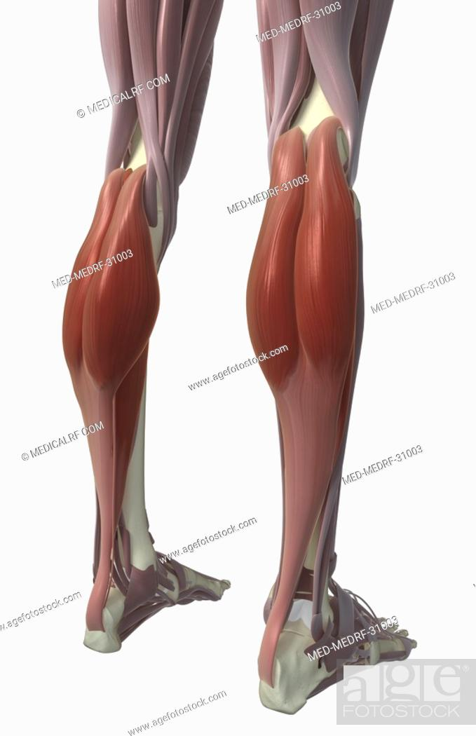 Stock Photo: Gastrocnemius muscle.