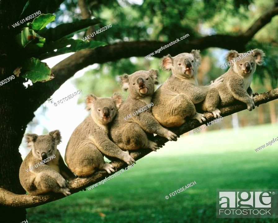 Stock Photo: Koala.