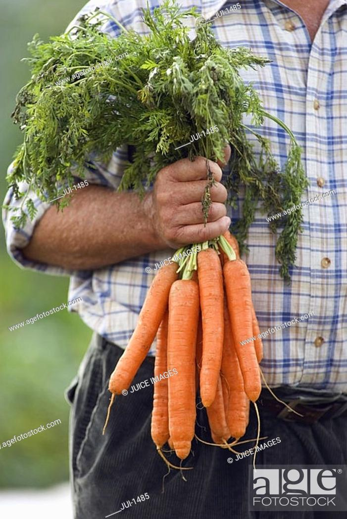 Stock Photo: Senior man holding bunch of carrots in vegetable garden, front view, close-up, mid-section.
