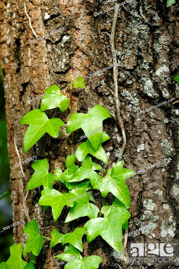 Photo de stock: Green ivy climbing up the bark of a pine.