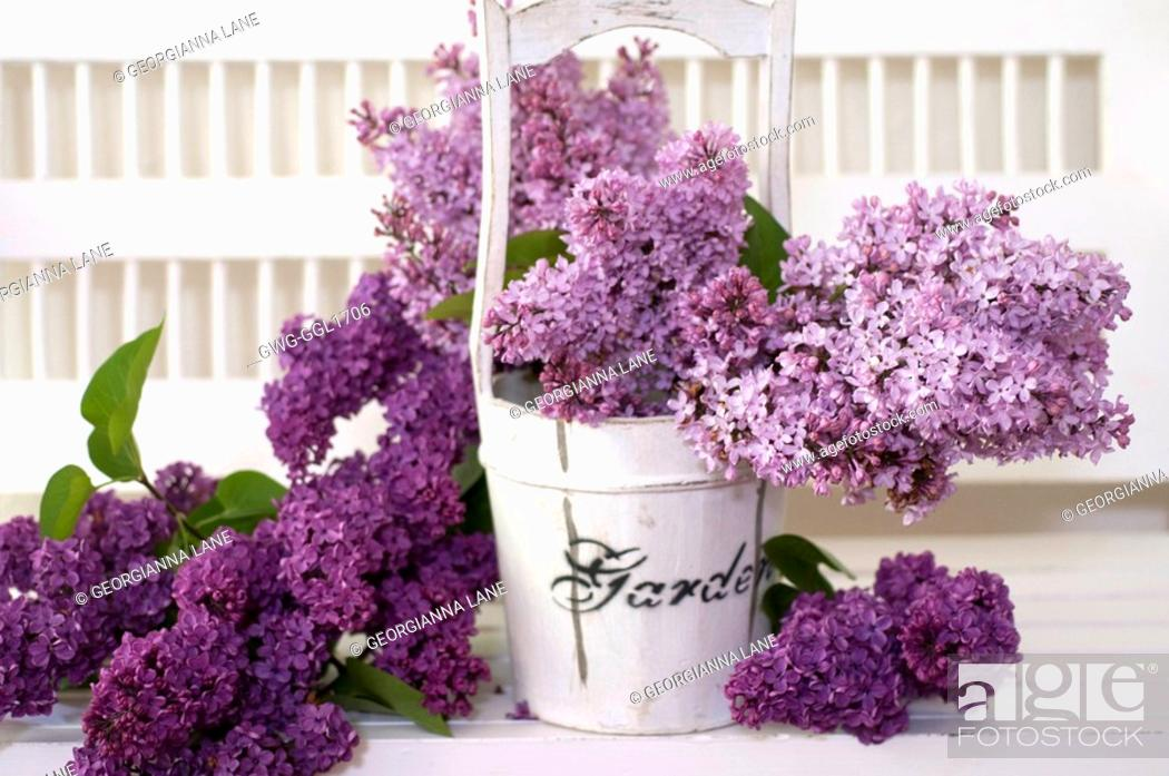 Stock Photo: SYRINGA VULGARIS COMMON LILAC IN WOODEN BUCKET ON WHITE PORCH BENCH.