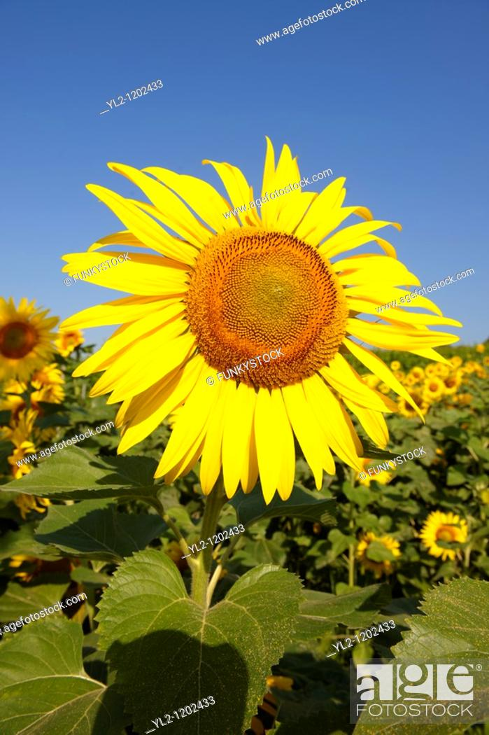 Stock Photo: Field of Sunflower flowering heads.