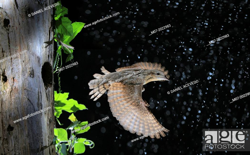 Stock Photo: Eurasian WryneckJynx torquilla on flight coming out of hole nest left by other woodpeckers.