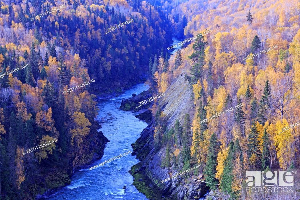 Stock Photo: Fall colours of yellow Aspen leaves along the Bulkley river, near Hzelton, British Columbia.