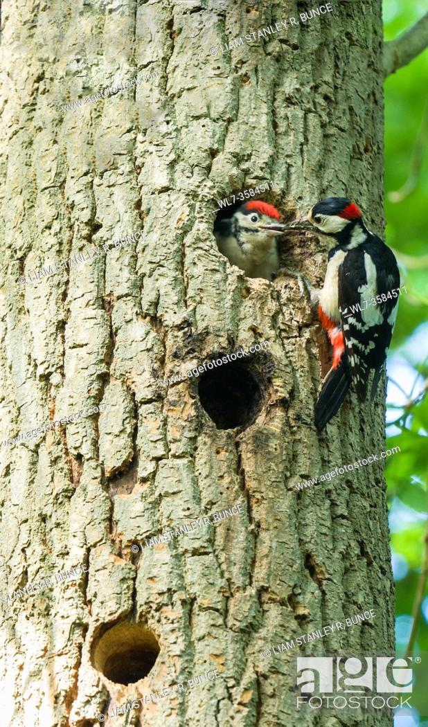 Stock Photo: Male Great spotted woodpecker (Dendrocopos major) feeding nestling. Woolhope Herefordshire UK. May 2020.