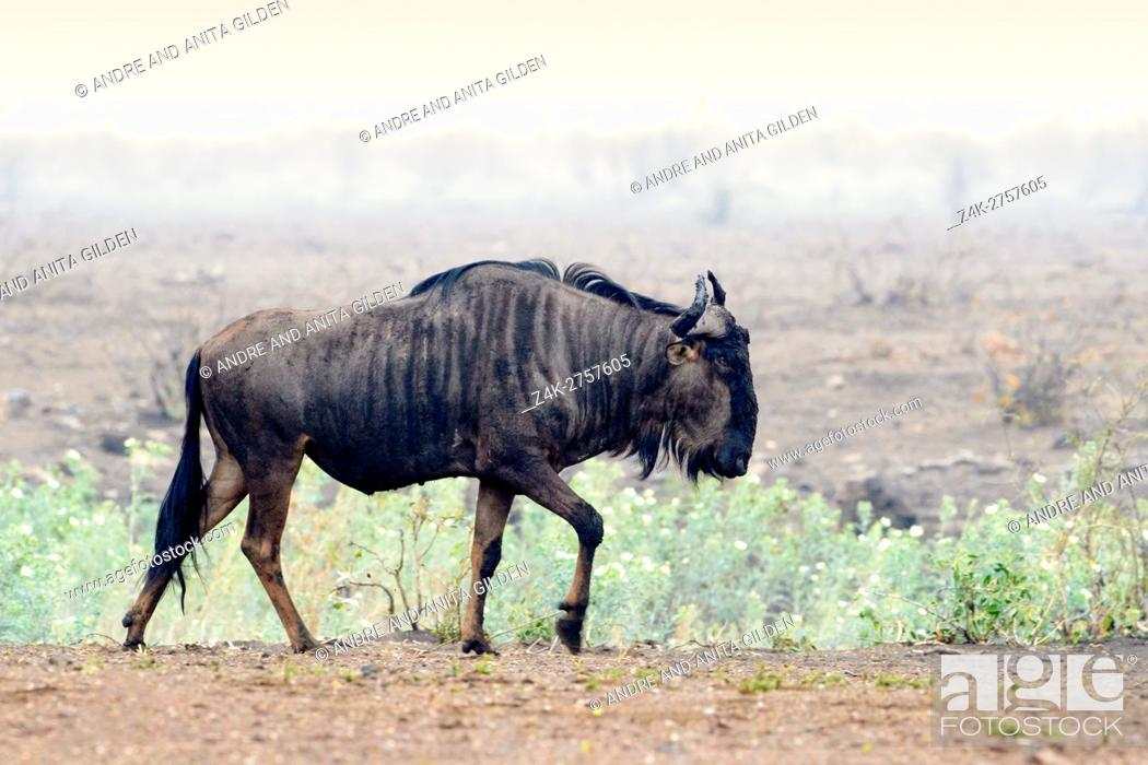 Stock Photo: Blue Wildebeest (Connochaetes taurinus), walking on savanna, Kruger National Park, Mpumalanga, South Africa, Africa.