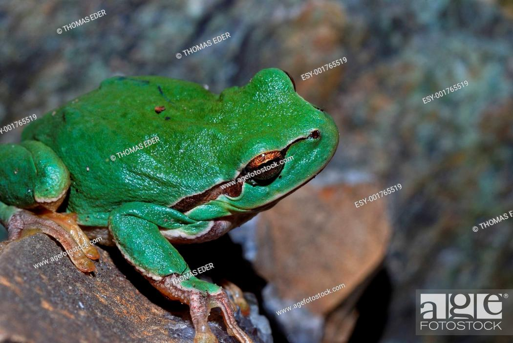 Stock Photo: green frog is looking.