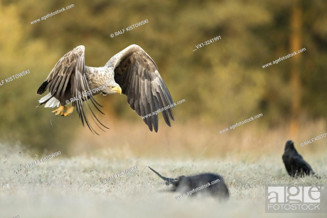 Stock Photo: White-tailed Eagle / Sea Eagle / Seeadler ( Haliaeetus albicilla ) in flight close above frozen ground, along the edge of a forest, warm morning light, wildlife.