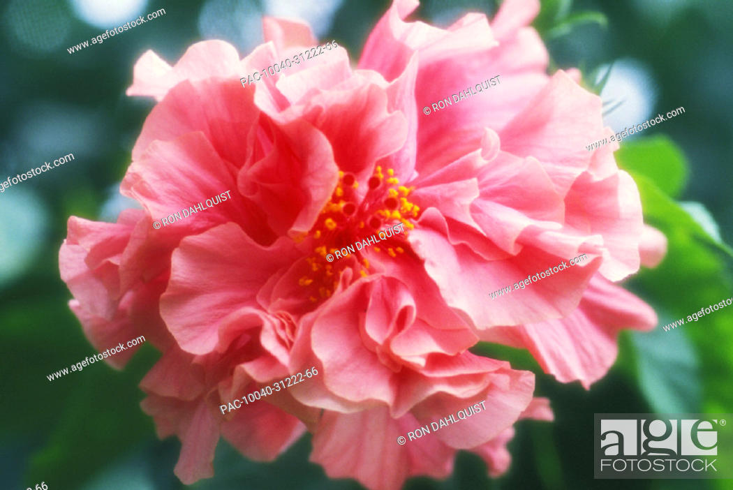Stock Photo: Hawaii, Maui, Large pale pink double hibiscus blossom on tree,.
