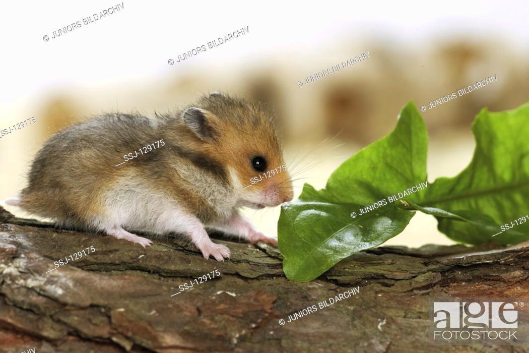 golden hamster - cut on branch - Mesocricetus auratus