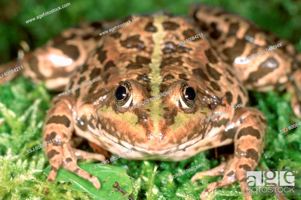 Stock Photo: DEU, 2003: European Edible Frog (Rana esculenta), portrait.