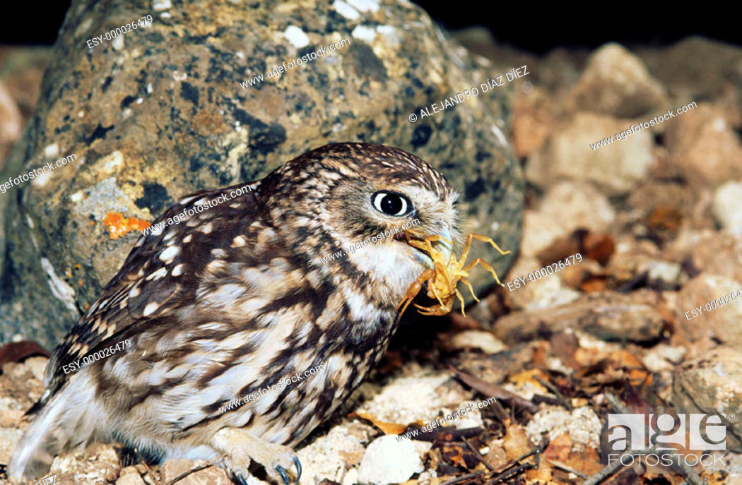 Stock Photo: Little Owl (Athene noctua) with scorpion.