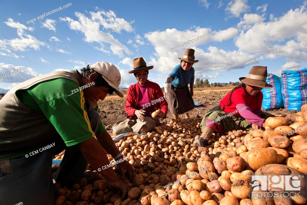 Imagen: Indigenous people of Sacred Valley picking up potatoes, Cusco, Peru, South America.