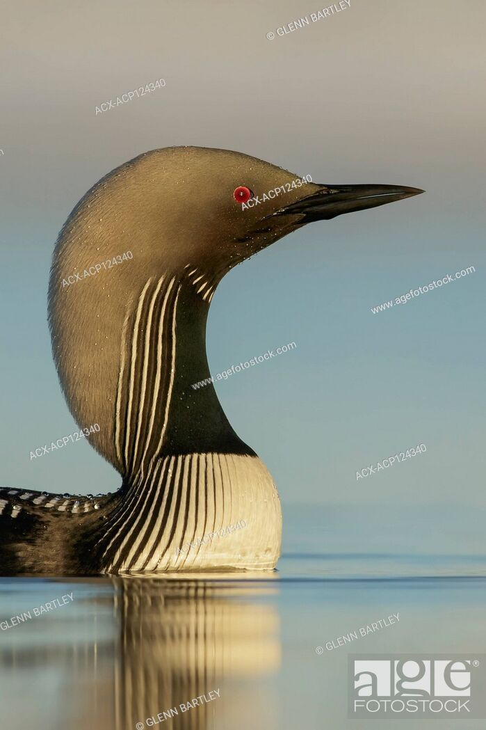 Stock Photo: Pacific Loon (Gavia pacifica) feeding on a small pond on the tundra in Northern Alaska.