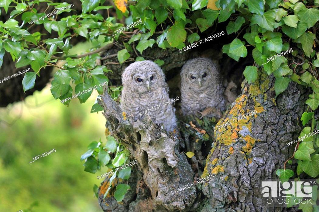 Stock Photo: Tawny olws in the nest door, (strix aluco).