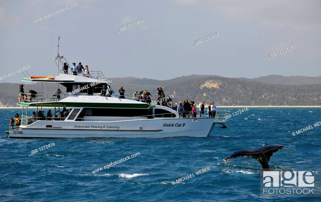 Stock Photo: Whale Watching, tail of a Humpback Whale (Megaptera novaeangliae) in front of Fraser Island, Hervey Bay, Queensland, Australia.