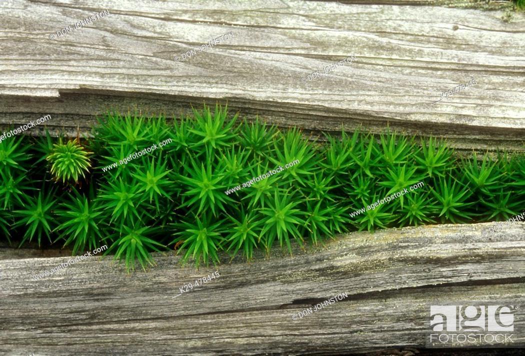 Stock Photo: Hair cap moss, Polytrichium commune. Colony of moss growing through crack in dead wood. Walden. Ontario, Canada.