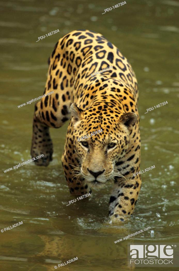 Stock Photo: Jaguar (Panthera onca) walking through water, Brazil.