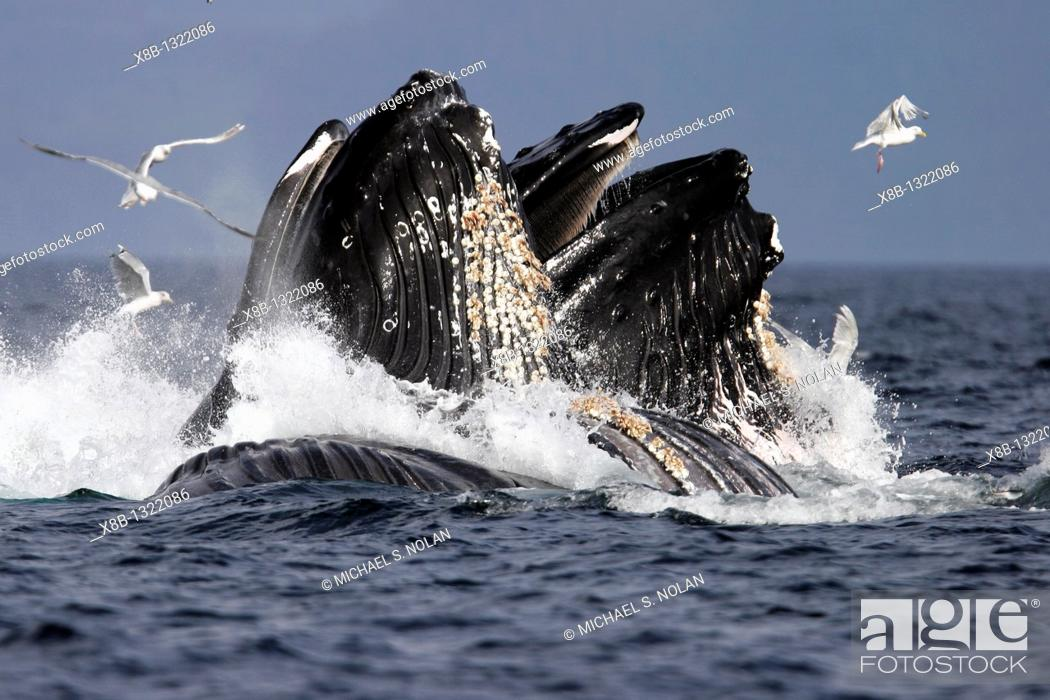 Stock Photo: Adult Humpback Whales Megaptera novaeangliae cooperative bubble-net feeding for herring in Iyoukeen Bay, Chichagof Island, Southeast Alaska.