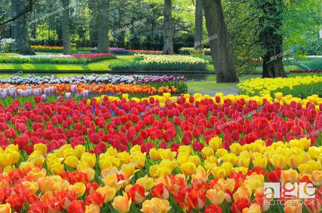 Stock Photo: Formal garden design with Springtime flowerbeds of Tulips, Keukenhof Gardens, Lisse, Holland, Netherlands.