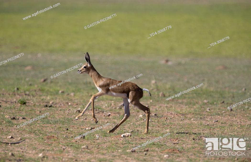 Imagen: Springbok (Antidorcas marsupialis)- Lamb, Kgalagadi Transfrontier Park, Kalahari desert, South Africa/Botswana.