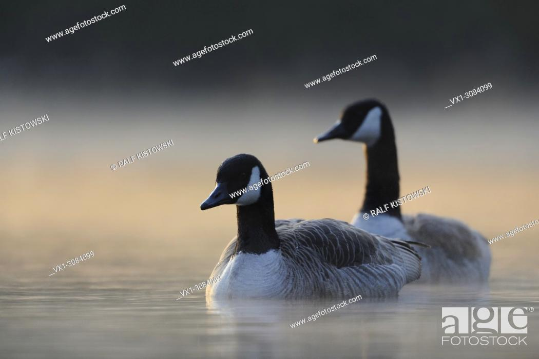 Stock Photo: A pair of Canada Geese ( Branta canadensis ) swimming closer in early morning mist, while sun comes through, wildlife, Europe.