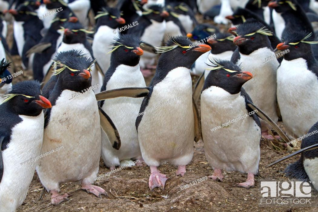 Stock Photo: Falkland Islands , Pebble island , Rockhopper penguin  Eudyptes chrysocome chrysocome.
