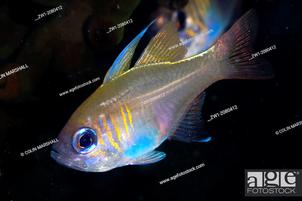 Stock Photo: Threadfin Cardinalfish (Apogon leptacanthus) in East Flores in Indonesia.