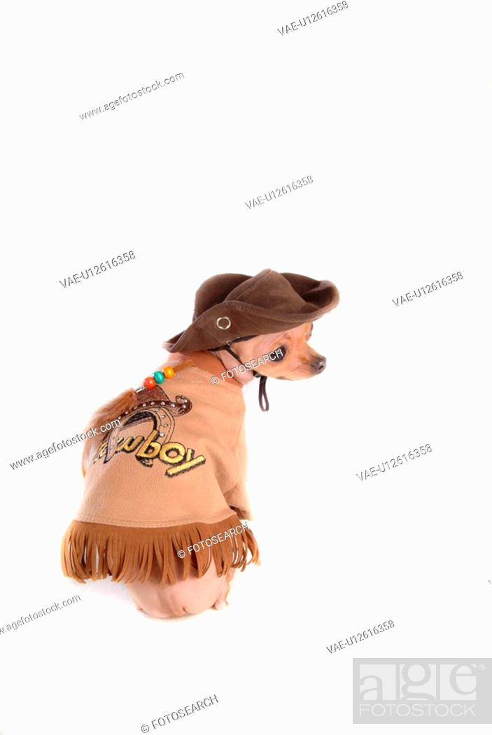 Stock Photo: house pet, domestic, cute, loving, canines, chihuahua.