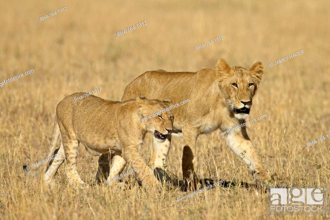 Stock Photo: Lion Panthera leo cubs, Masai Mara National Reserve, Kenya, East Africa, Africa.