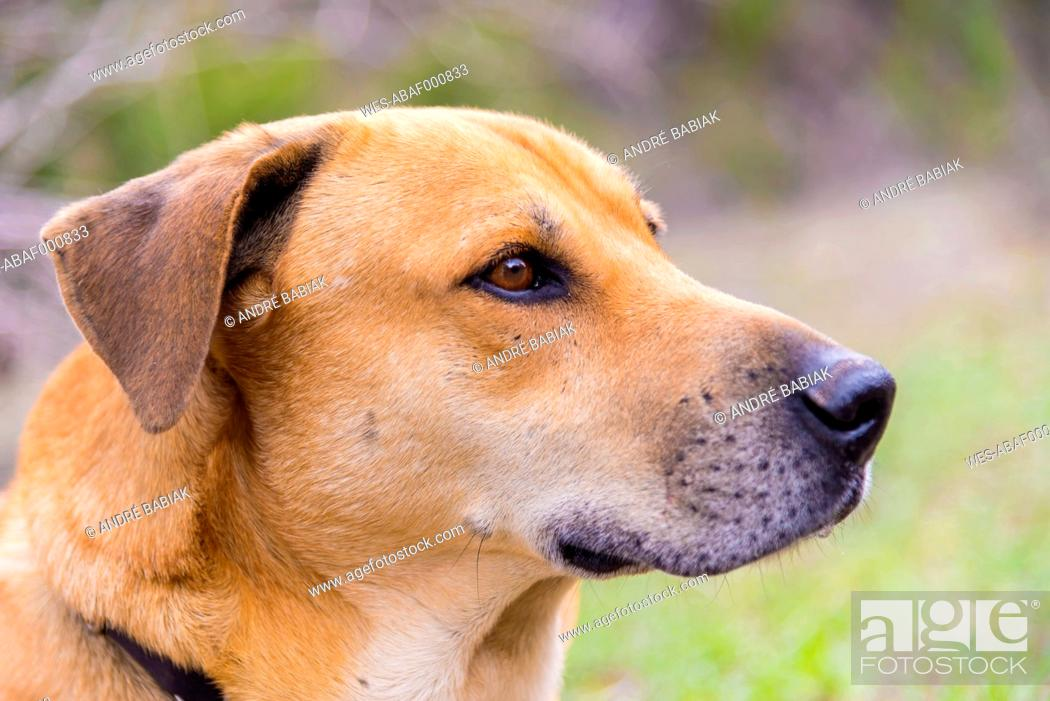 Stock Photo: Blackmouth Cur Dog, close up.