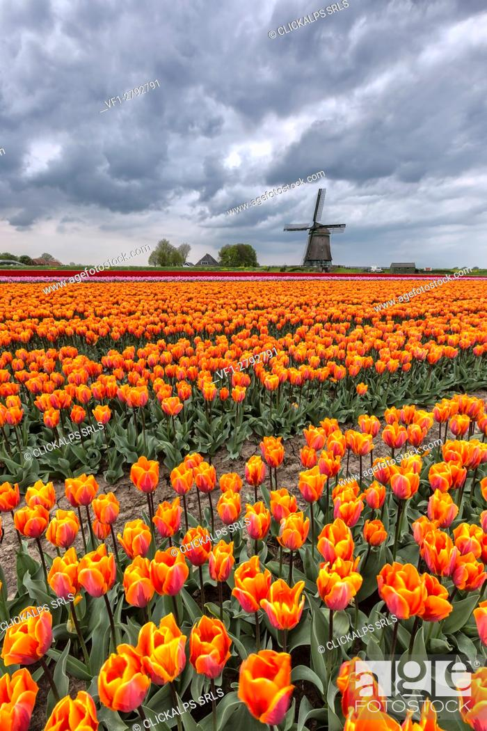 Stock Photo: Dark clouds on fields of multicolored tulips and windmill Berkmeer Koggenland North Holland Netherlands Europe.
