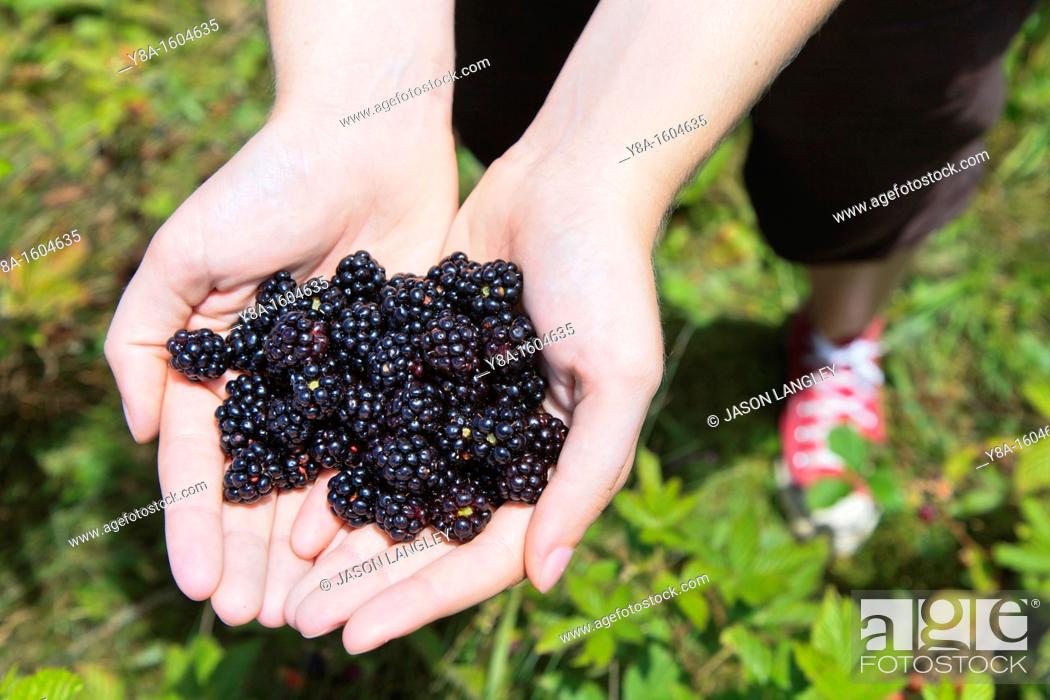 Stock Photo: A woman's hands holding fresh-picked wild blackberries, Max Patch Bald, North Carolina-Tennessee Border, United States.