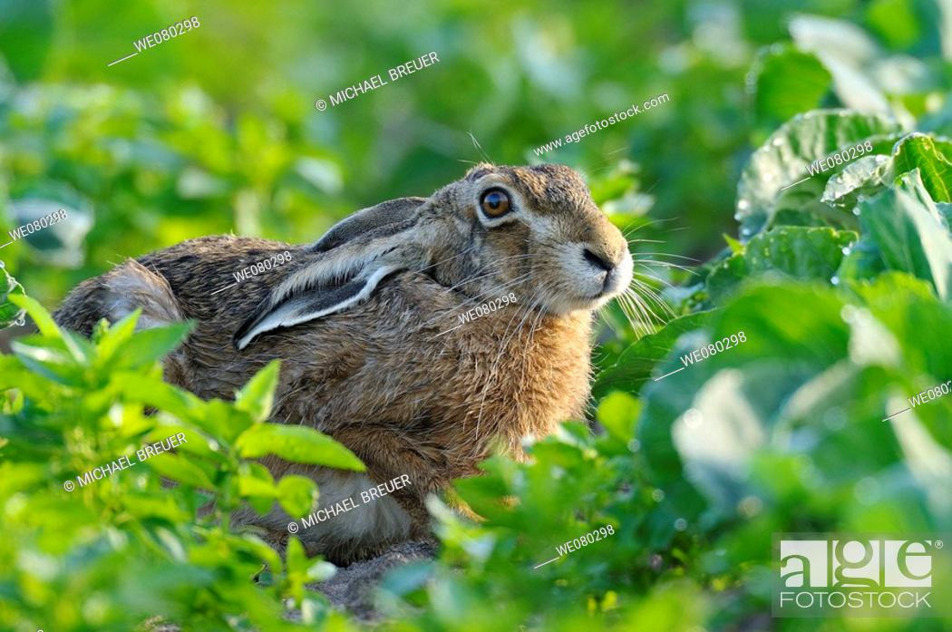 Stock Photo: European brown hare, Lepus europaeus, Germany.