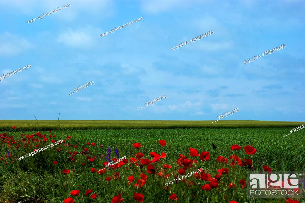 Stock Photo: Meadow with poppies.