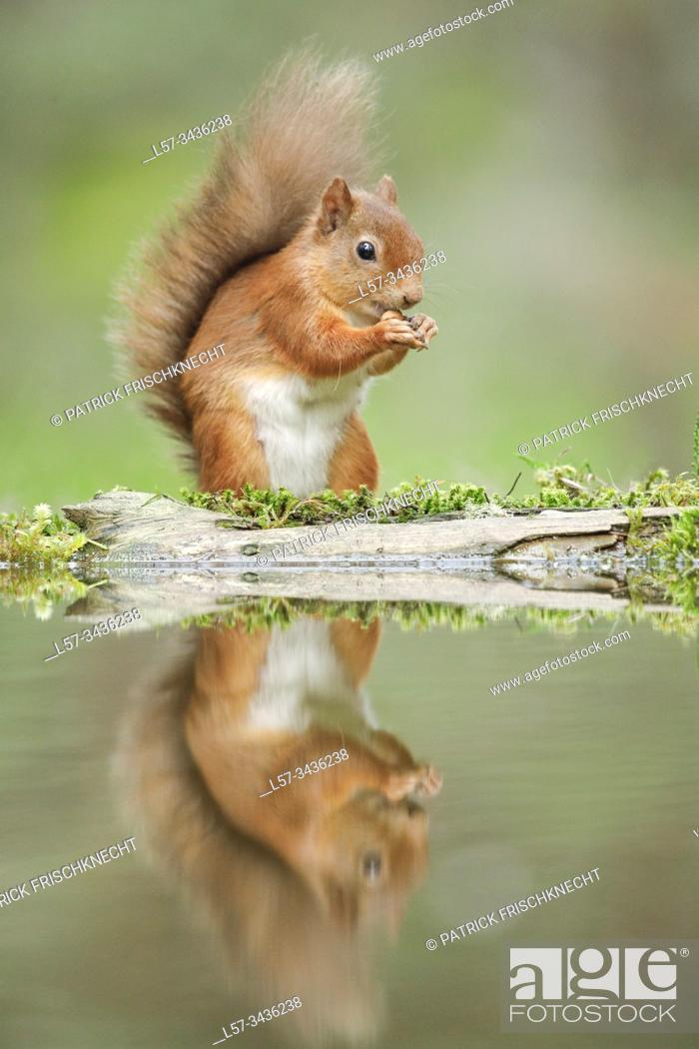 Stock Photo: Eurasian Red Squirrel, Sciurus vulgaris, Scotland.