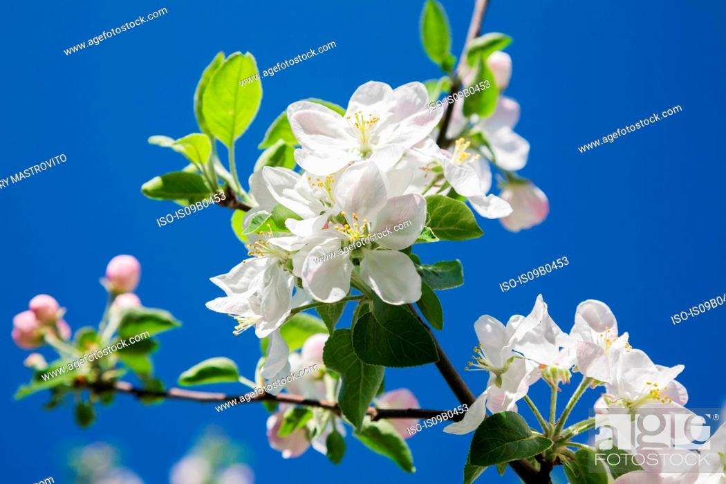 Stock Photo: Close-up of white Prunus x eminens (Crimson Passion) - Dwarf sour cherry tree blossoms against blue sky in spring.