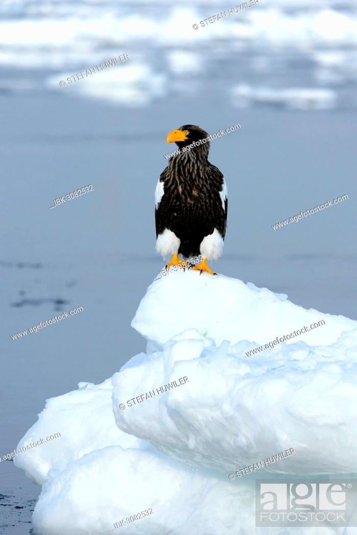 Stock Photo: Steller's Sea Eagle (Haliaeetus pelagicus) perched on an ice floe, Rausu, Menashi, Hokkaido, Japan.