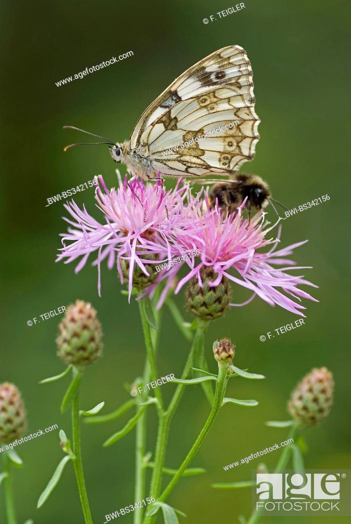 Imagen: marbled white (Melanargia galathea), sitting on a knapweed together with e hu, ble bee, Germany.