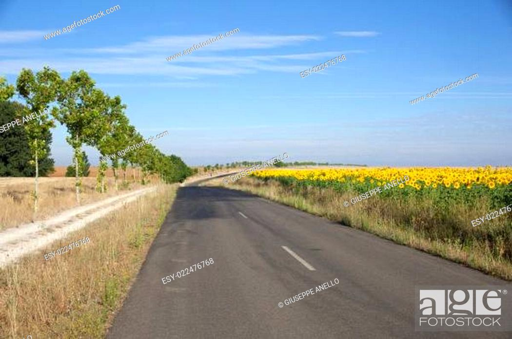 Stock Photo: Road and sunflowers field.