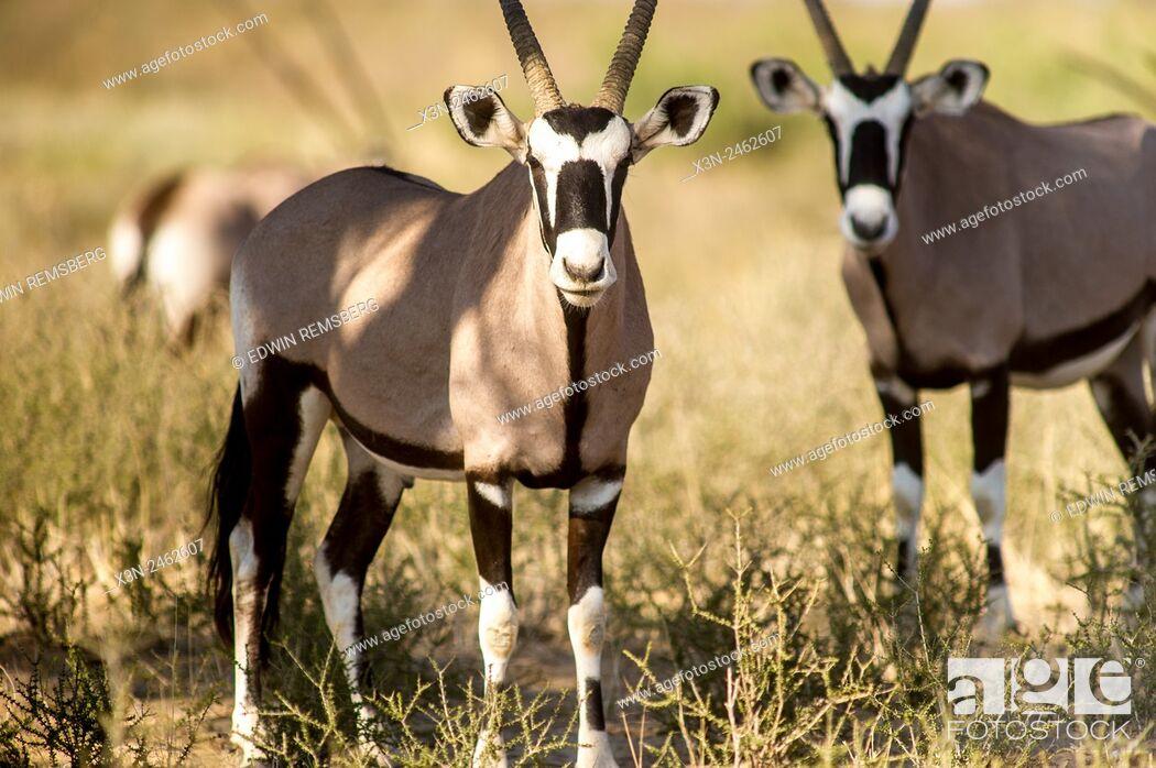 Imagen: South Africa - Gemsbok in Khalagadi Transfrontier Park.