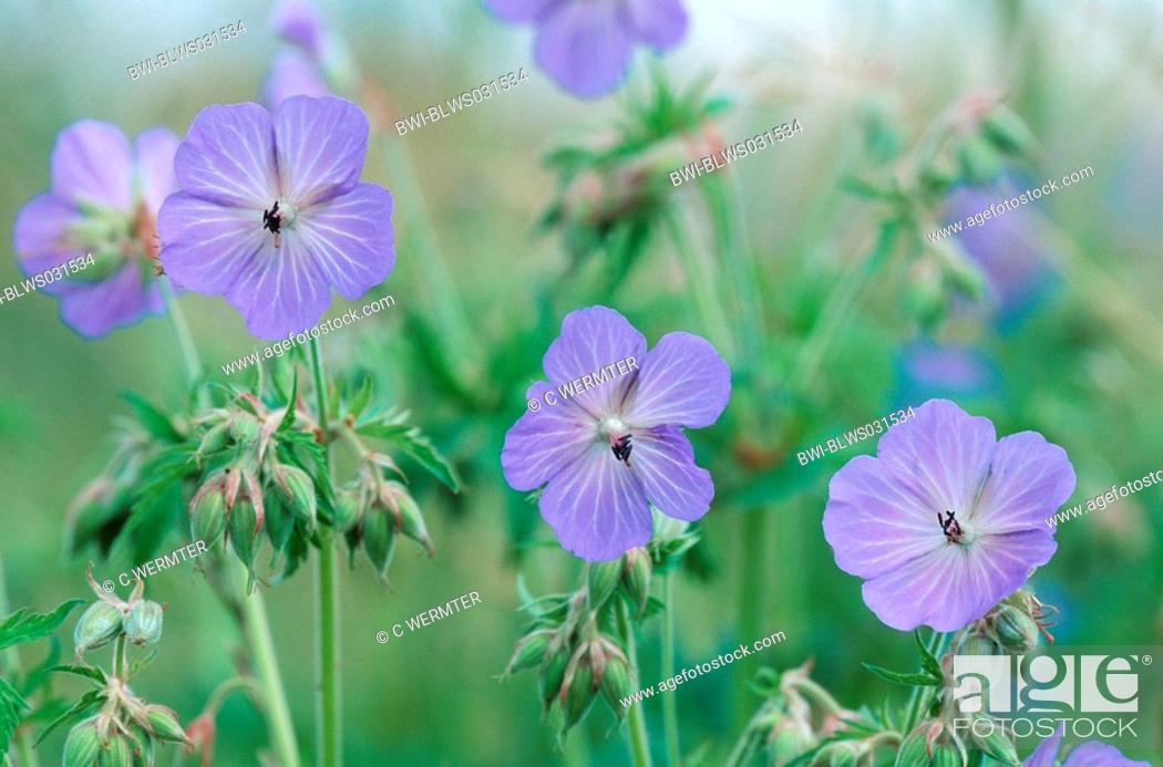Stock Photo: meadow cranesbill Geranium pratense, flowers.