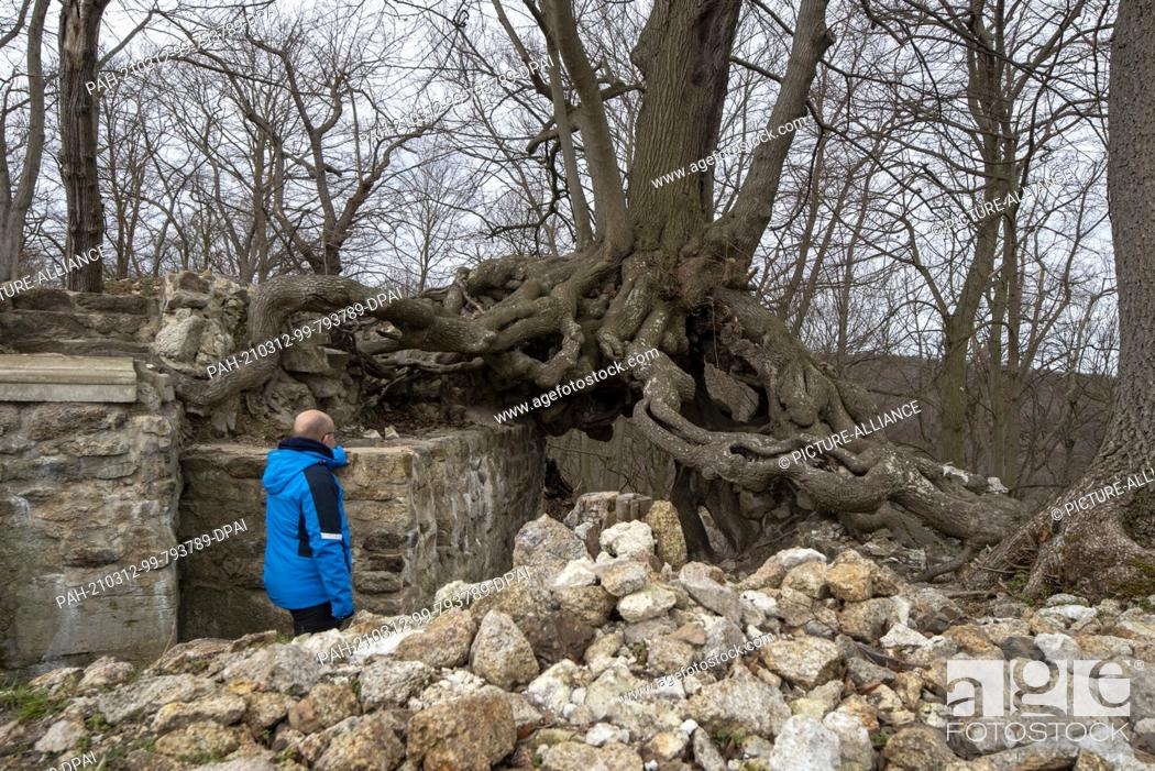 Stock Photo: 06 March 2021, Saxony-Anhalt, Stecklenberg: A hiker marvels at the root of a winter lime tree (Tilia cordata) that has been growing on the walls of the.