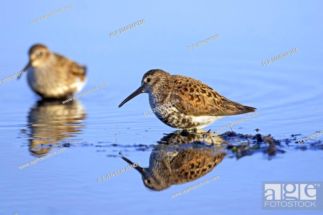 Imagen: Two dunlins (Calidris alpina) in breeding plumage foraging on the beach in spring.