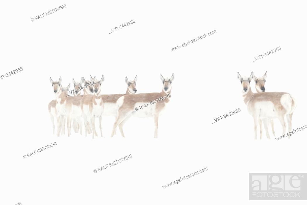 Stock Photo: Pronghorns / Gabelboecke / Gabelantilopen ( Antilocapra americana ) in winter, blowing snow, standing together, watching attentively, Yellowstone NP, USA.